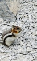 Chubby golden-mantled ground squirrel.