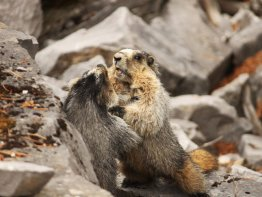 One of the most amusing things we seen all day, two marmots fighting.