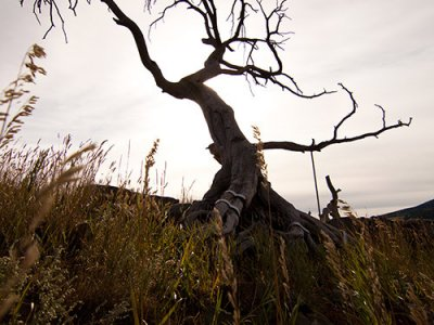 attractions/burmis-tree/burmis-tree1.jpg