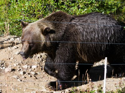 attractions/grizzly-bear-refuge-kicking-horse-resort/golden-adventure-78.jpg