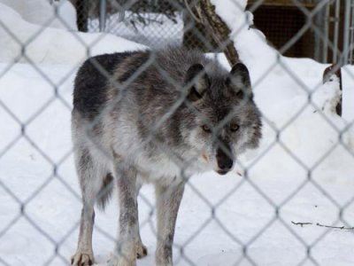 attractions/northern-lights-wildlife-wolf-centre/golden-wolf-centre-1.jpg