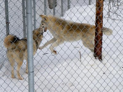 attractions/northern-lights-wildlife-wolf-centre/golden-wolf-centre-11.jpg