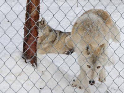 attractions/northern-lights-wildlife-wolf-centre/golden-wolf-centre-12.jpg