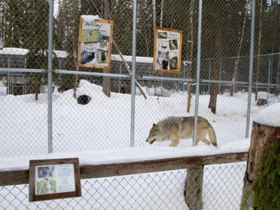 attractions/northern-lights-wildlife-wolf-centre/golden-wolf-centre-2.jpg