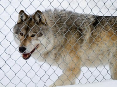 attractions/northern-lights-wildlife-wolf-centre/golden-wolf-centre-6.jpg