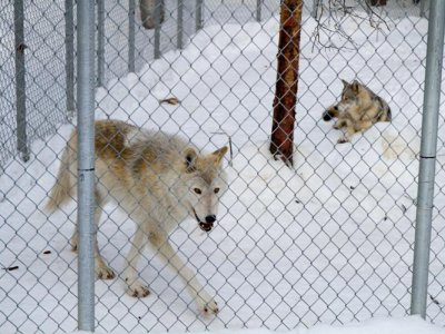 attractions/northern-lights-wildlife-wolf-centre/golden-wolf-centre-7.jpg