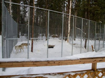 attractions/northern-lights-wildlife-wolf-centre/golden-wolf-centre-8.jpg