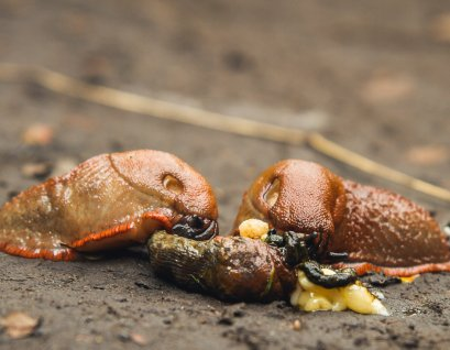Cannibalistic slugs